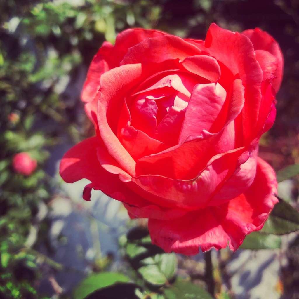Red rose by thetaflow, thetahealing